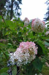 Hortenzie latnaté, aneb nejen rododendrony přežily karlovoúdolskou dobu temna